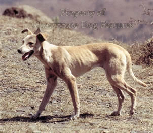 The Emergence Of Mastiff Breeds Like
