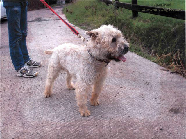 Glen of Imaal Terrier ...