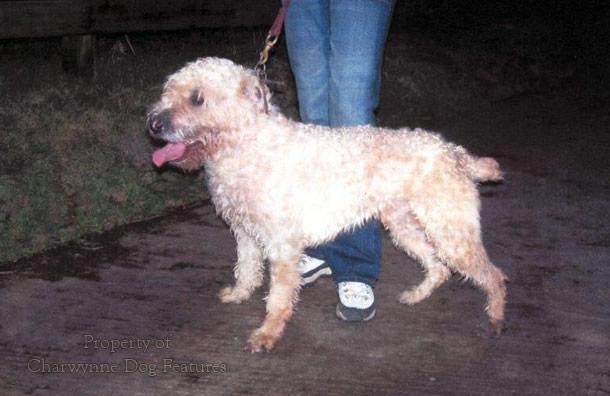 front wheaten terrier