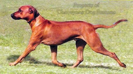 rhodesian ridgeback greyhound